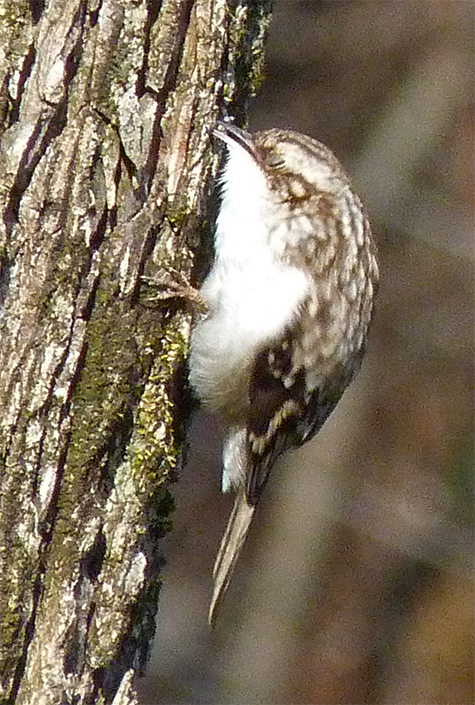 Here, the bird reaches behind the bark with its thin, decurved bill to extract some sort of insect food item (2/28/15).