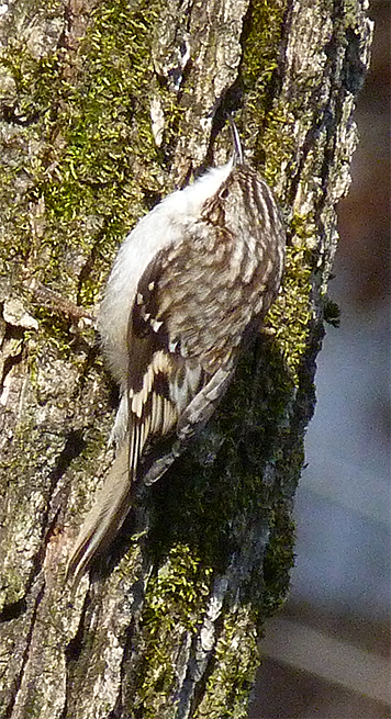 Brown creeper on elm trunk in Red Wolf Enclosure (2/28/15).