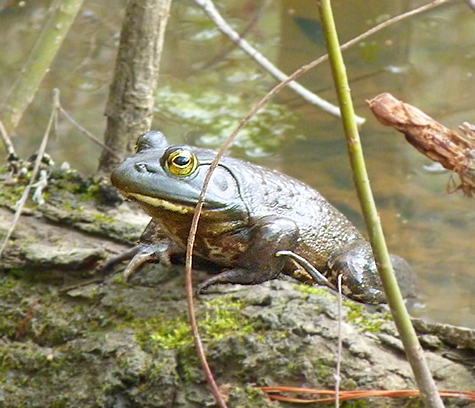 Not yet singing, this bullfrog rests on a log about two meters from shore (3/11/15).