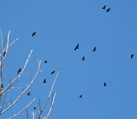 The flocks that arrive mid-Marchare always a pleasure to see and hear.