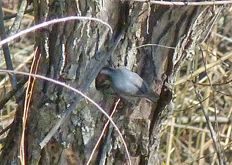 A brown-headed nuthatch enters a nest hole in a willow in the Wetlands (3/16/15).