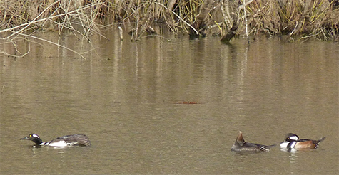 Last week (3/4) there were two males and a female in the Wetlands.