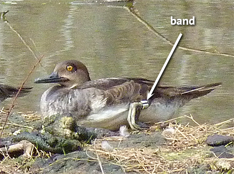 Note Fish and Wildlife band on bird's left foot.