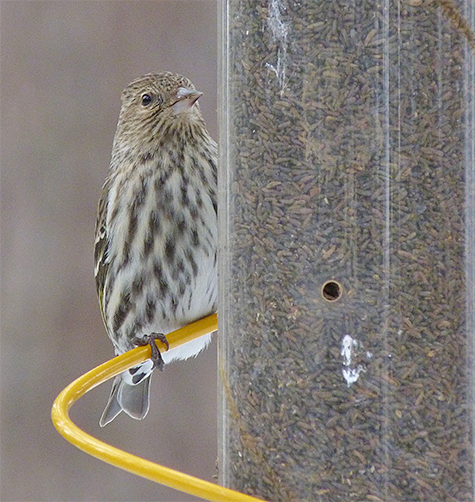 Pine siskin peeks around from behind feeder.