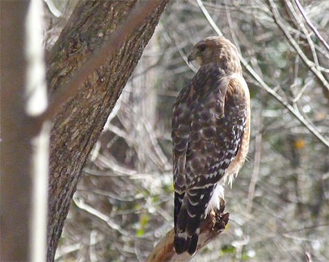 This red-shouldered hawk was in the willows on the north side of the Wetlands.