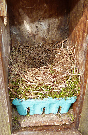 Amphimeadow nest is, without a doubt, now bluebird (4/7/15).