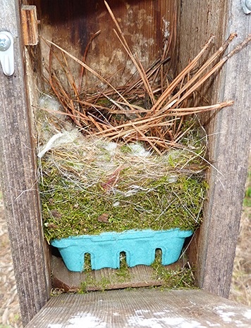 What started as a chickadee nest is now bluebird territory at the Butterfly House (4/7/15).