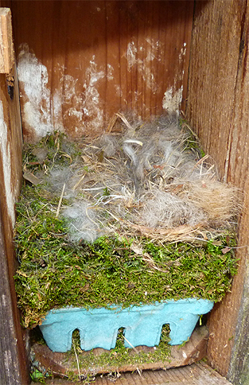 A nice cozy nest, but no eggs in the Bungee nest box (4/7/15).