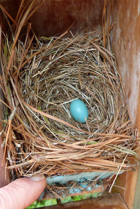 The Picnic Dome nest has a bluebird egg (4/7/15).