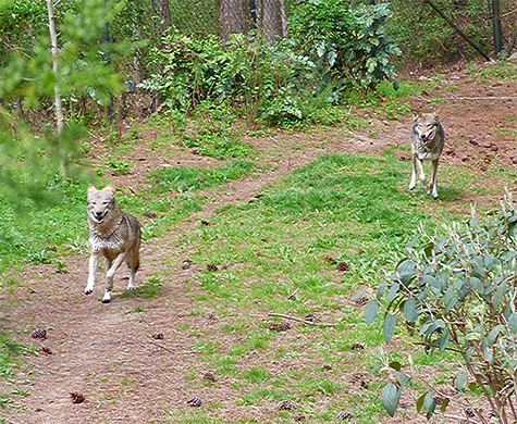 Running with the wolves (female on left).