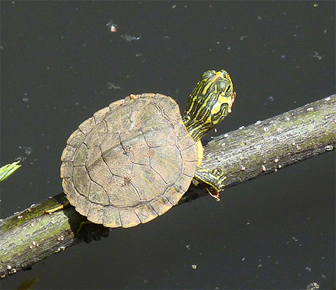 A fresh out of the nest yellow-bellied slider basking in the sun (4/21/15).