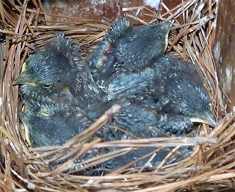 Four healthy bluebirds nestlings. Will they fledge by next week? (Cow Pasture - 5/12/15)