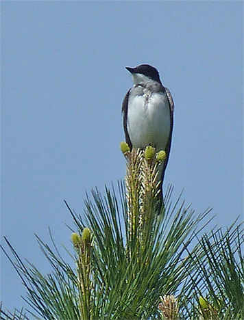A classic kingbird pose, this eastern kingbird surveys the possibilities from the top of a loblolly pine in the Wetlands.