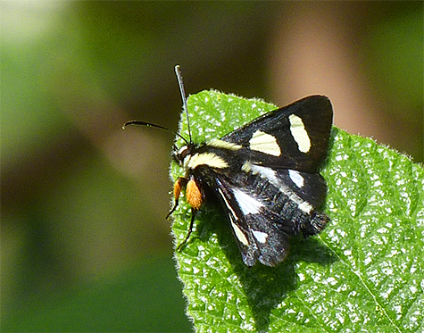 Adult moth eight-spotted forester.