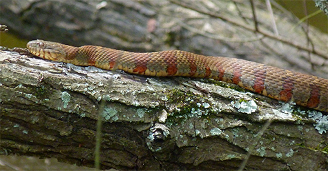 This attractive northern water snake stretches out on a black willow limb.