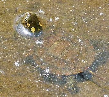 A juvenile yellow-bellied slider[s first dip in the water of the Wetlands.