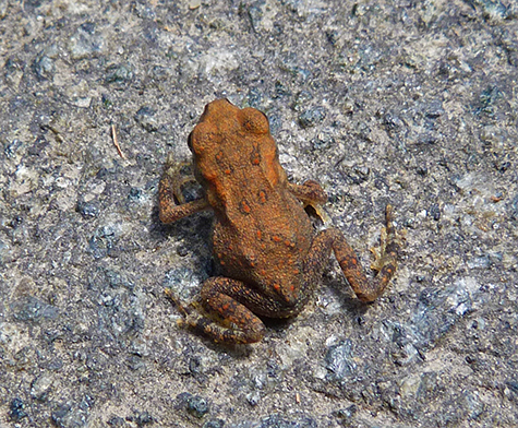 Tiny American toad crosses path.