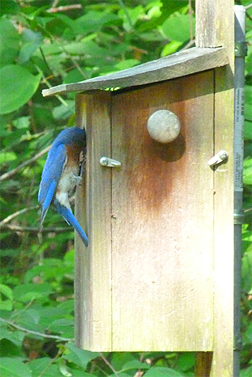 A quick visit at the nest box by the male after our intrusion (6/23/15).