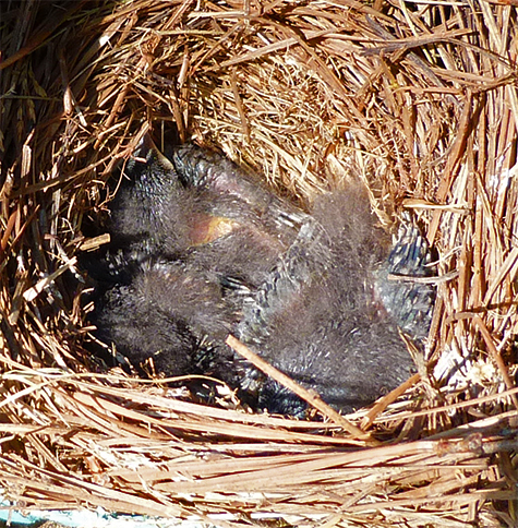 These nestlings are about 10 days old (6/30/15).