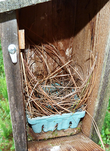 A work in progress at the Bungee nest box (6/3/15).