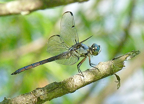 Male great blue skimmer.