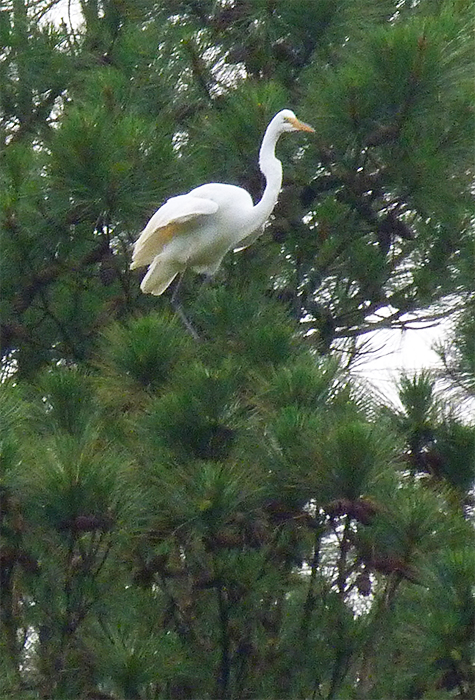 A brief look was all this egret could give us.