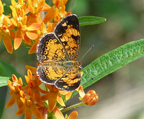 A pearl crescent on butterfly weed.