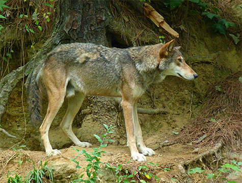Still a few remnants tuffs of the long winter coat on our male red wolf.
