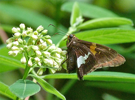 Silver-spotted skipper on dogbane.