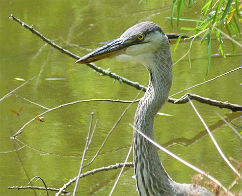 A young heron has taken up residence in our Wetlands.