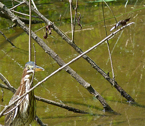 The object of this heron's attention is the dragonfly at the tip of the twig (top right).
