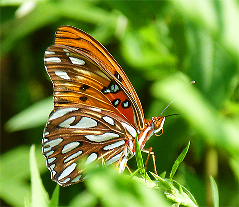 The underside of gulf fritillary.