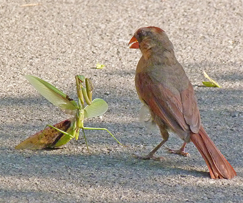 The mantid standing its ground against the female cardinal.