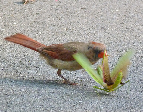 The cardinal pecked at the mantis repeatedly.