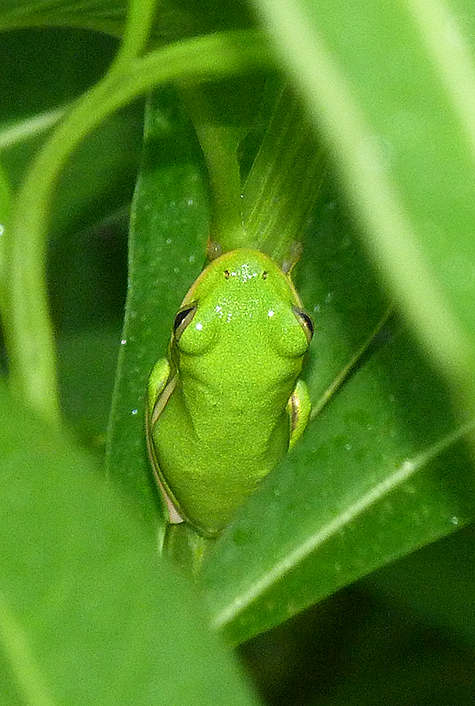 The green treefrog.