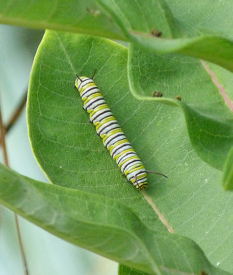 A nearby monarch caterpillar.