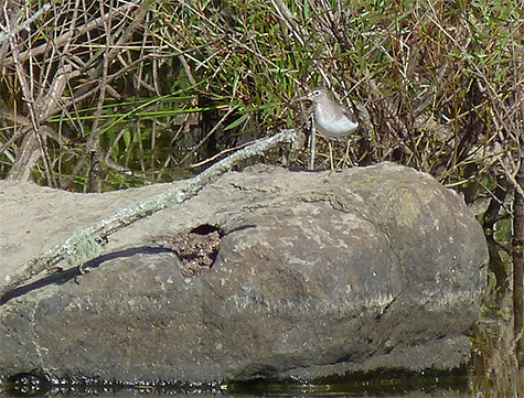 Solitary sandpiper resting on a boulder often used as a perch by our resident great blue heron (9/8/15).