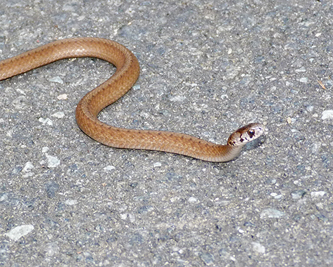 A young northern brown snake makes it way across the path in Explore the Wild.