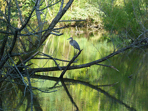 Great blue heron at the end of the day.