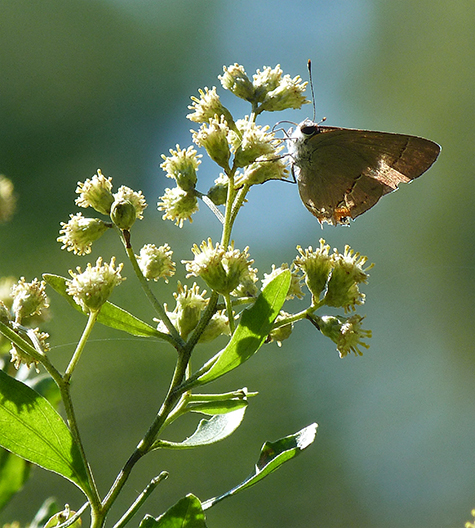 A grey hairstreak nectars on the male flowers of groundsel tree.