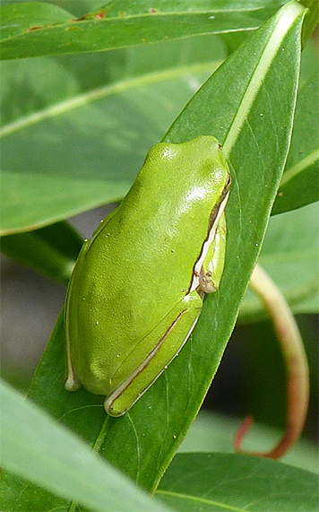 Typical green tree frog.