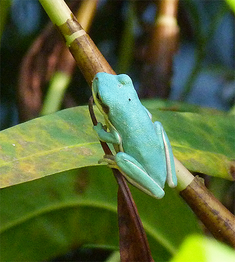 No doubt, a green treefrog.