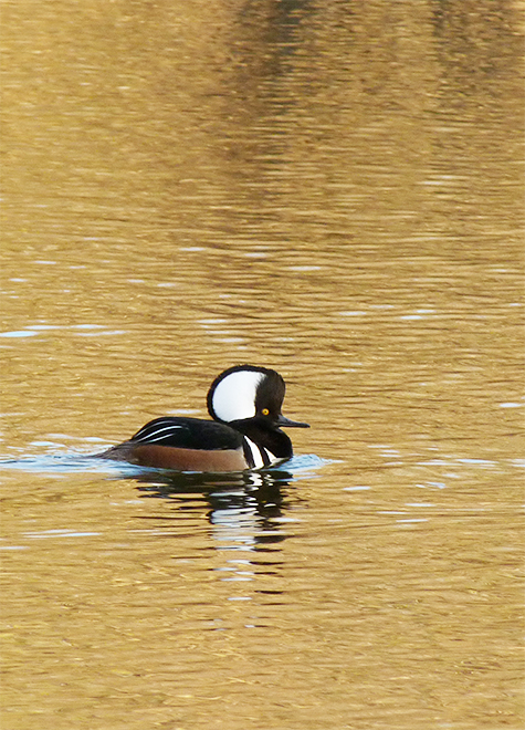 Male hooded merganser.