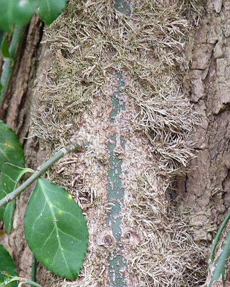 The vine clinging to the bark of the locust tree.