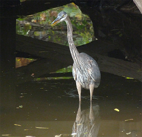 Our resident great blue heron likes to fish under the boards.