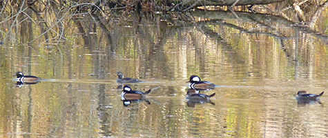 Hooded mergansers are here for the duration.