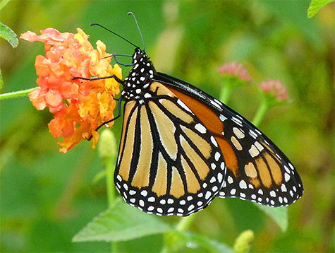 This female monarch was nectarine on lantana (11/4/15).
