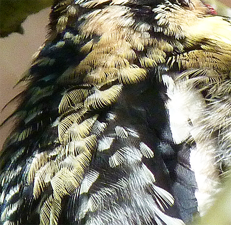 A close look at the back feathers as they are puffed out by the bird.